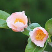 Coral Camellia 2 Poster