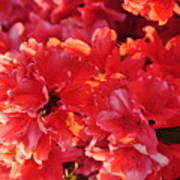 Coral Pink Azaleas Poster