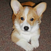 Corgi Puppy Lying Down Poster by Laurie With