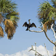 Cormorant Drying Poster by Stacey Lynn Payne