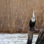 Cormorant On Post Poster