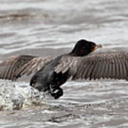 Cormorant Taking To The Air Poster