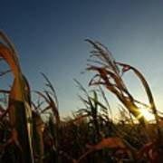Corn Field In Sunset Poster