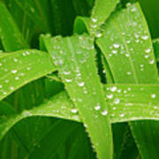 Corn Leaves After The Rain Poster