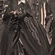 Corn Portrait Poster