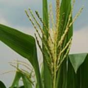 Corn Stalk Poster