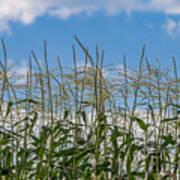 Corn Tassels In The Sky Poster