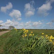 Cornish Daffodil Hedge Poster