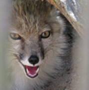 Corsac Fox- Vulpes Corsac 01 Poster