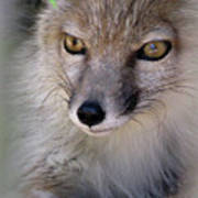 Corsac Fox- Vulpes Corsac 03 Poster