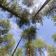 Corsican Pine Canopy Poster