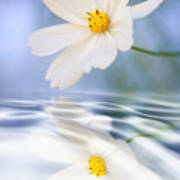 Cosmea Flower - Reflection In Water Poster
