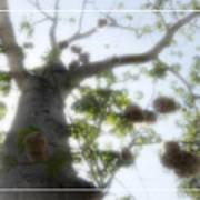Cotton Ball Tree Poster