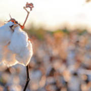Cotton Field 14 Poster