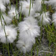 Cottongrass Poster