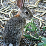 Cottontail Rabbit 4320-080917-2cr Poster