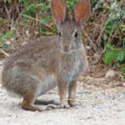 Cottontail Rabbit Surprised To Have Company Poster