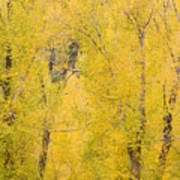 Cottonwood Autumn Colors Poster