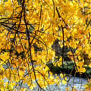 Cottonwood Tree Along The River Poster