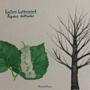 Cottonwood Tree Id Poster