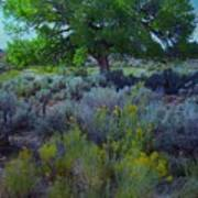 Cottonwood Tree In Old Field Poster