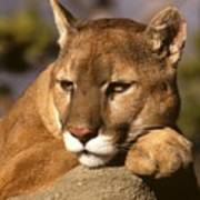 Cougar Contemplating Poster