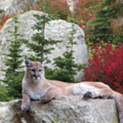 Cougar On Rock Poster
