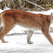 Cougar On The Prowl Poster