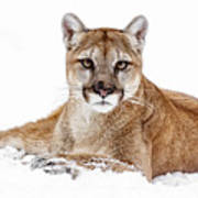 Cougar On White Poster