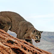 Cougar Prowling Poster