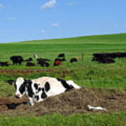 Countryside Cows Poster