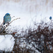 Couple Chilly Bluebirds Poster