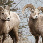 Couple Of Rams- Banff National Park Poster