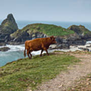 Cow At Kynance Cove Poster