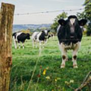 Cow Herd Poster