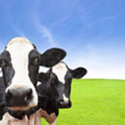 Cow On Green Grass Field Poster