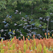 Cowbirds In Flight Over Milo Fields In Shiloh National Military Park Poster