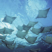 Cownose Rays Poster