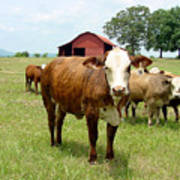 Cows8944 Poster