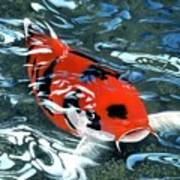 Coy Koi Poster by Charles Parks