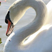 Coy Swan Poster