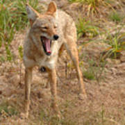 Coyote Caught In A Yawn Poster