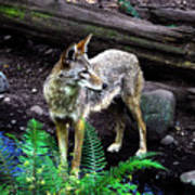 Coyote In Mid Stream Poster