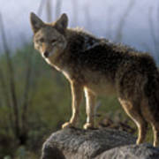 Coyote In Ocotillo Trees Poster
