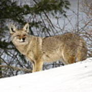 Coyote In Winter Poster