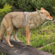 Coyote On A Log Closeup Poster