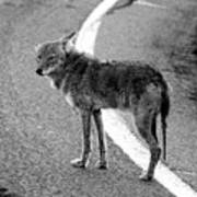 Coyote On The Road Poster