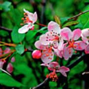 Crab Apple Blossom Poster