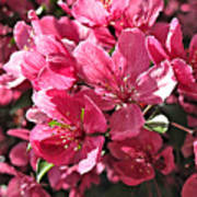 Crab Apple Blossoms 04302015-1 Poster