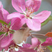 Crabapple Tree  Pink Flowers Poster